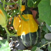 Squash in the Love & Salt restaurant garden