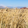 Wheat from Weiser Farms - photo via Tehachapi Grain Project