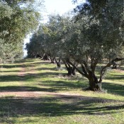 100-year-old olive trees at Lodestar Farms