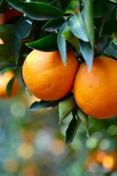 Tree-ripened oranges