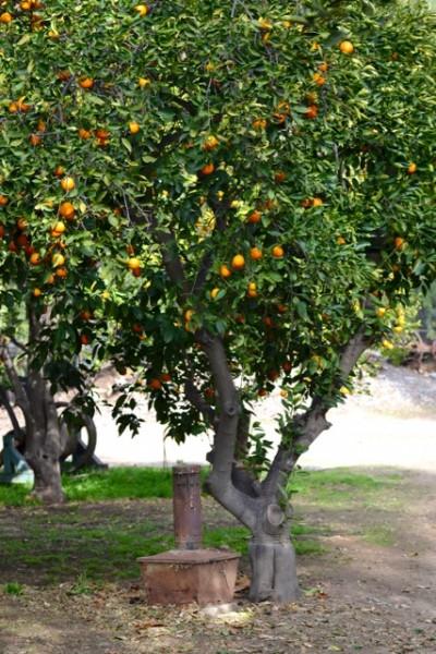 Orange tree with smudgepot