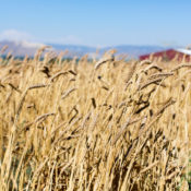 Wheat from Weiser Farms - photo via Tehachapi Grain Project