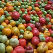 manytomatoes