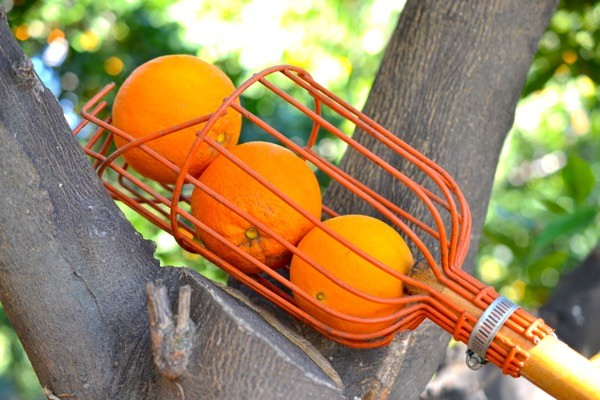 Three just-picked oranges resting in the picking pole.