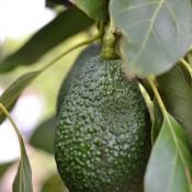single avocado