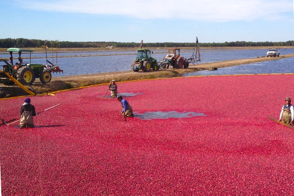 Workers wade through the flooded cranberry bog to corral the floating berries