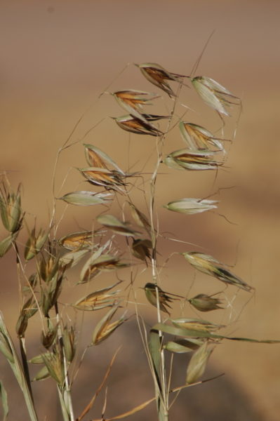 Slender wild oats - Photo via Tehachapi Grain Project
